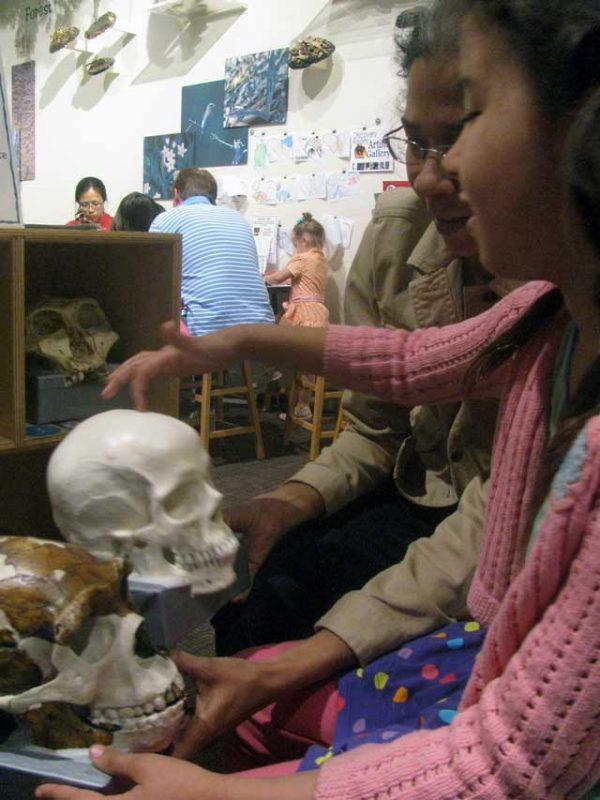Examining models of human and proto-human skulls at the Smithsonian National Museum of Natural History